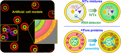 Microfluidic Assembly of Monodisperse Vesosomes as Artificial Cell Models