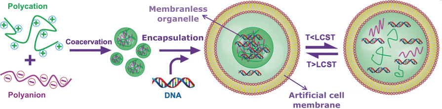 Microfluidic Formation of Monodisperse Coacervate Organelles in Liposomes