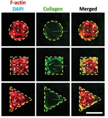 Microfabricated Gaps Reveal the Effect of Geometrical Control in Wound Healing