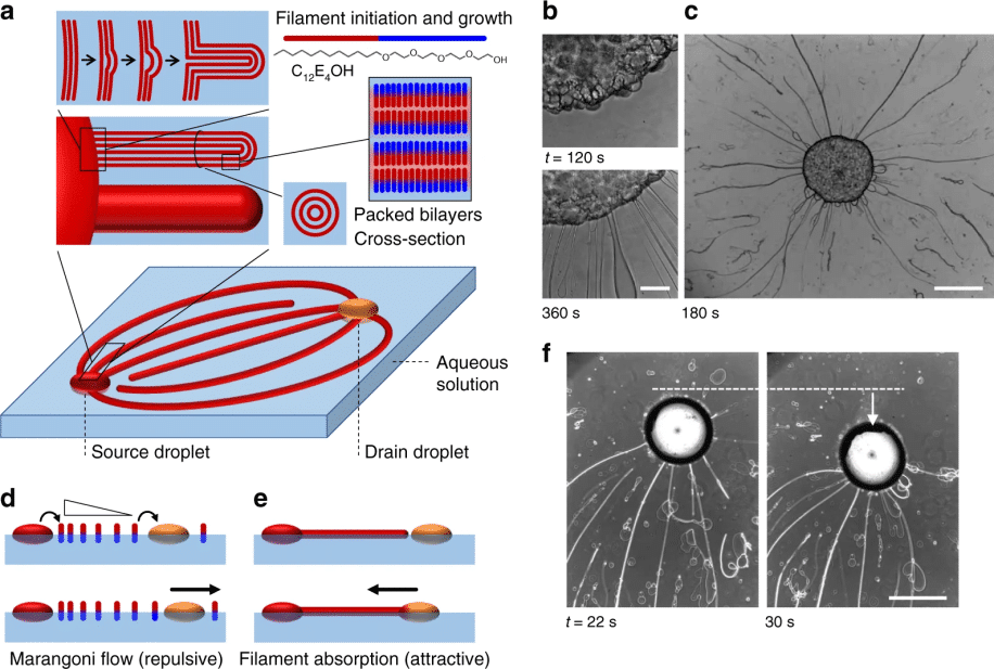 Autonomous mesoscale positioning emerging from myelin filament self-organization and Marangoni flows
