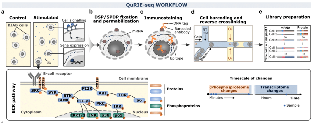 Single-cell intracellular epitope and transcript detection revealing signal transduction dynamics